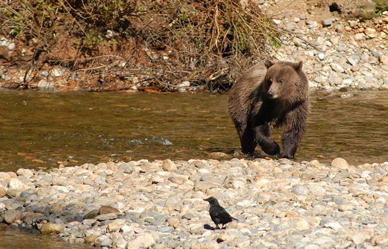 Bear & Wildlife Viewing in BC - Farewell Harbour Lodge