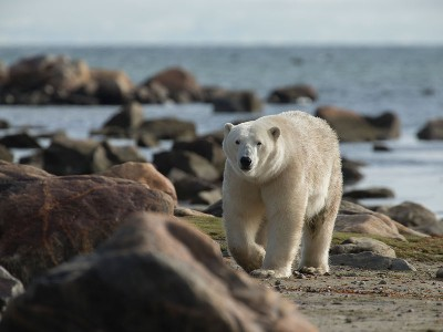 Canada Polar Bear Safaris | Birds, Bears and Belugas
