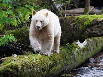 Great Bear Rainforest search for the Mystical Spirit Bear