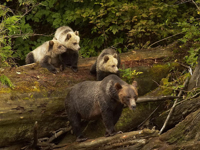 Vancouver Island Road Trip | Grizzly Bears Knight Inlet Lodge