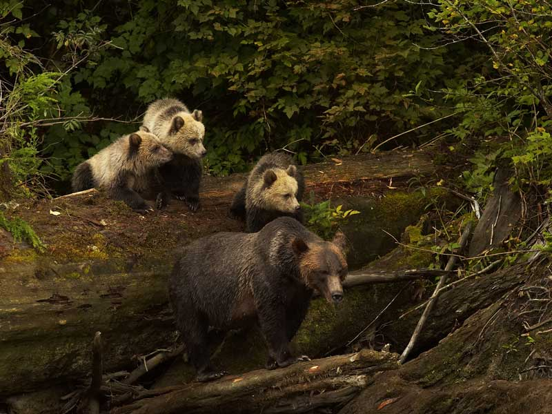 Grizzly Bears & the Canadian Rockies Train Vacation | Grizzly Bear Knight Inlet Lodge