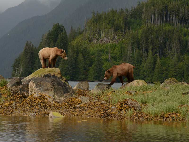 Grizzly Bears Tours of Knight Inlet, BC, West Coast, Canada