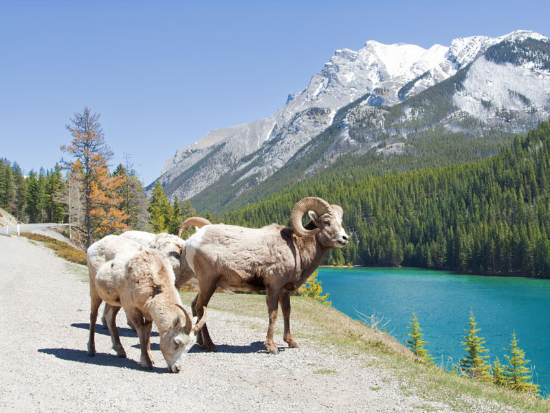 Rail & Drive through the Canadian Rockies | Big Horn Sheep the Icefield parkway