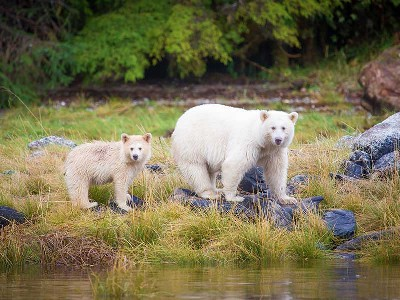 Spirit Bears of the Great Bear Rain Forest | Spirit Bear Lodge